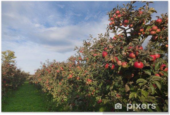 Plakat Dojrzałe jabłka na drzewach w sadzie - Jabłonie