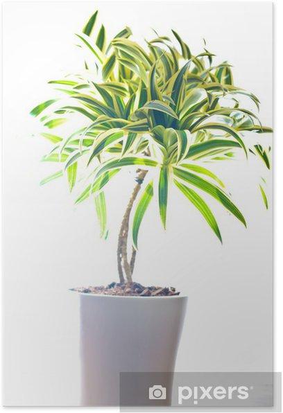 Plakat Drachenbaum - Rośliny