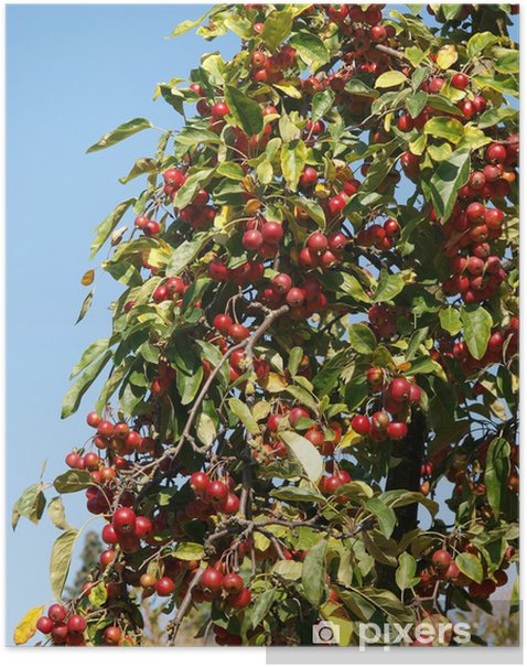 Plakát Dřevo Apple Malus sieversii - Roční období