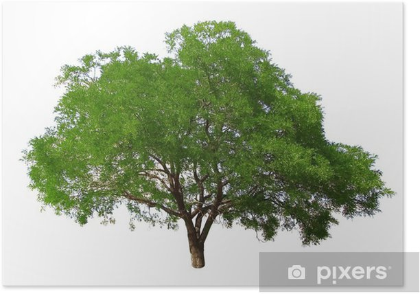 Plakat Drzewo na białym tle - Drzewa