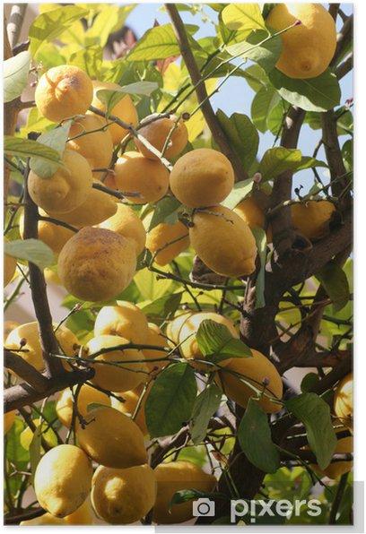 Plakat Drzewo z cytrynami - Owoce