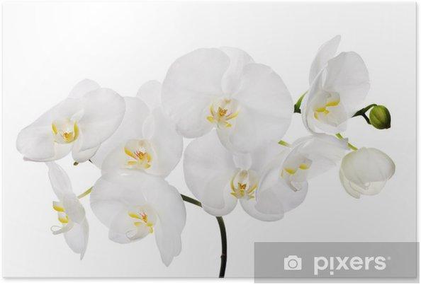 Plakat Duże Białe Pojedyncze Kwiaty Orchidei Na Oddział