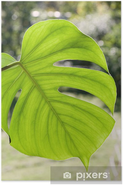 Plakat Duży liść Monstera zachwycający - Rośliny