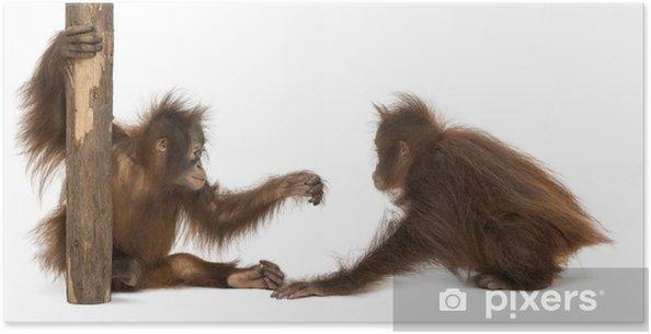 Plakát Dva mladí orangutan bornejský spolu hrají - Savci
