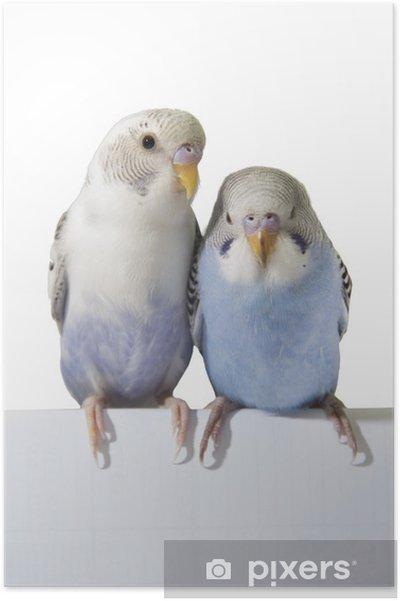 Plakát Dva ptáci jsou na bílém pozadí - Nálepka na stěny