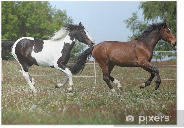 Plakát Dvě úžasné koně běží na jarní pastvu - Savci