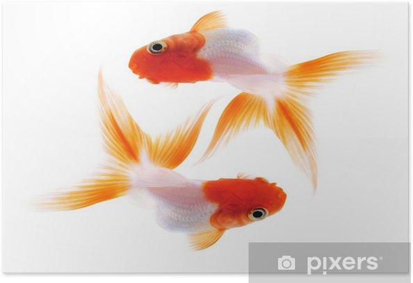 Plakát Dvě zlaté rybky na bílé - Vodní a mořský život