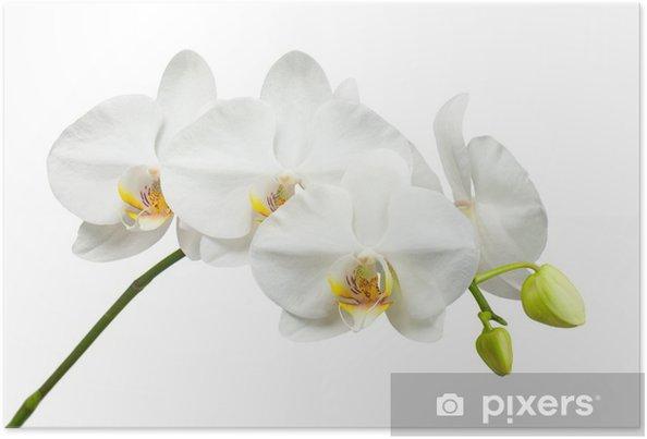 Plakat Dziesięć dni stary biały Orchidea samodzielnie na białym tle. - Naklejki na ścianę