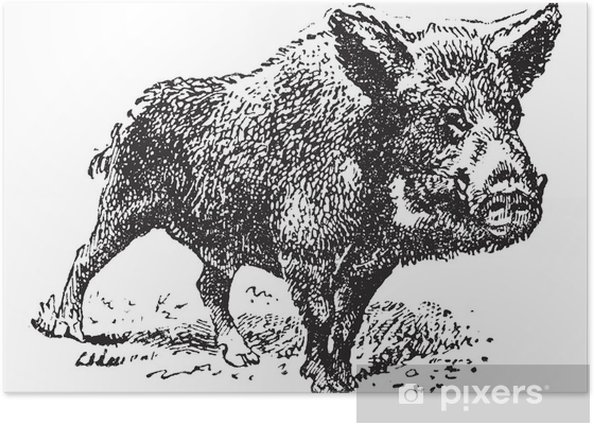 Plakat Dzik lub dzikich świń, vintage engraving. - Ssaki
