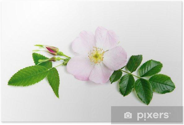 Plakat Dzika róża - Kwiaty
