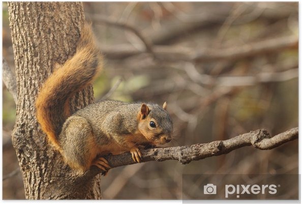 Plakat Eastern Fox Squirrel, Sciurus niger - Ssaki