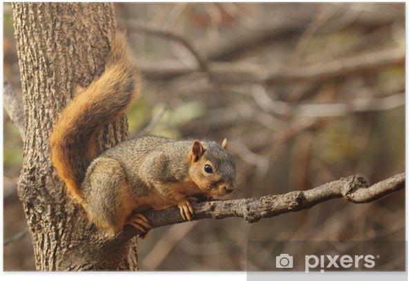 Plakat Eastern Fox Squirrel, Sciurus niger - Ssaki