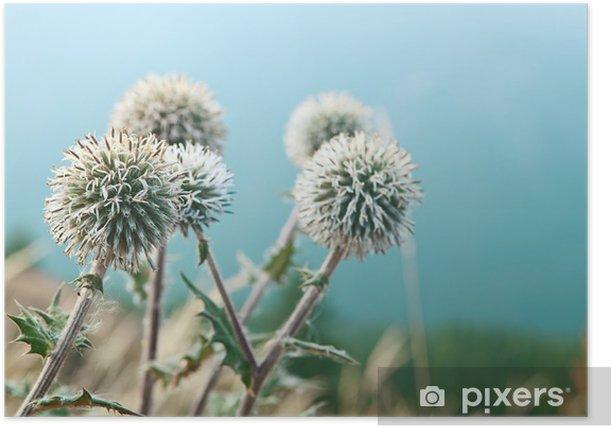 Plakát Echinop květiny zblízka - Život