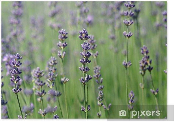 Plakát Echter Lavender (Lavendula angustifolia) - Květiny