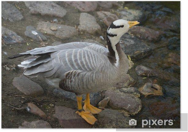 Plakat Eulabeia, Anser indica, Bar-headed Goose - Ptaki