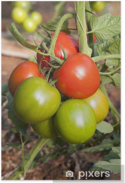 Plakat Europa, Włochy, Sycylia, czerwone i zielone pomidory w szklarni - Tematy