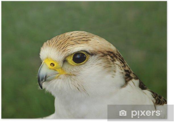 Plakat Falcon ptaków drapieżnych - Ptaki
