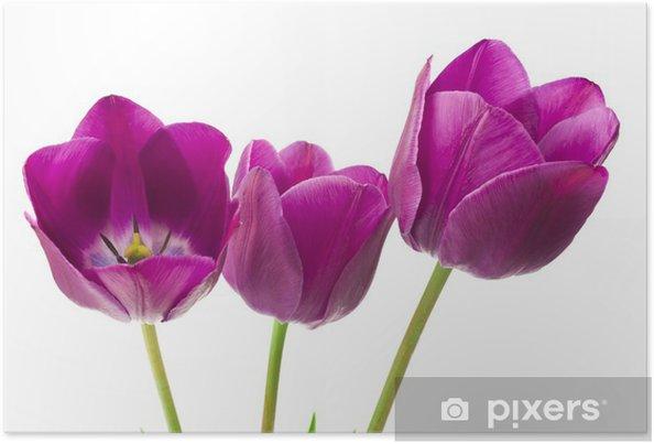 Plakat Fioletowe tulipany na białym tle - Kwiaty
