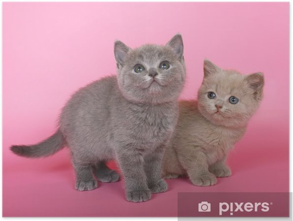 Plakat Fioletowy I Niebieski Kot Brytyjski Krótkowłosy Kocięta W