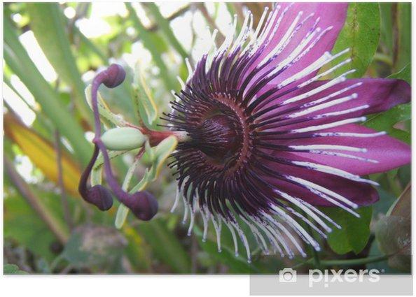 Plakat Fioletowy kwiat pasji - Kwiaty