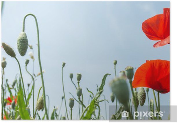 Plakat Fleurs coquelicots - Tematy