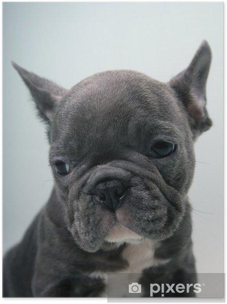 Plakat French Bulldog Puppy Portrait - Buldogi francuskie