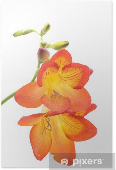Plakat Fresia - Kwiaty