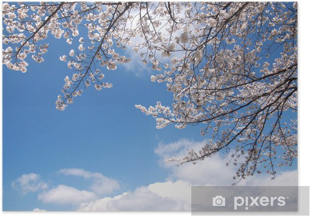 Plakat Gałęzie wiśni w błękitne niebo i rozkwicie - Kwiaty