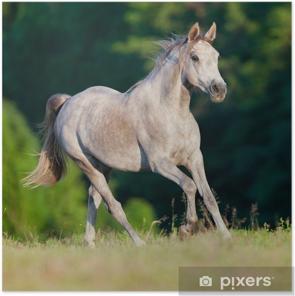 Plakat Galop koni arabskich szary w lesie - Tematy