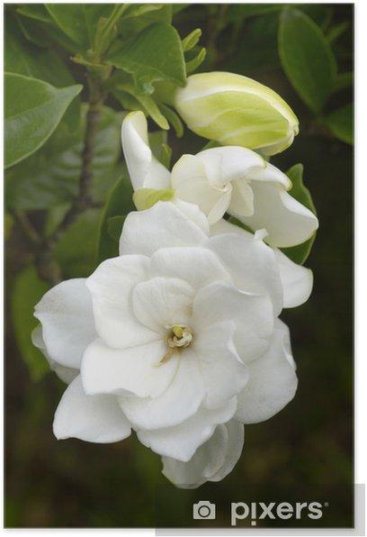 Plakat Gardenia - Kwiaty