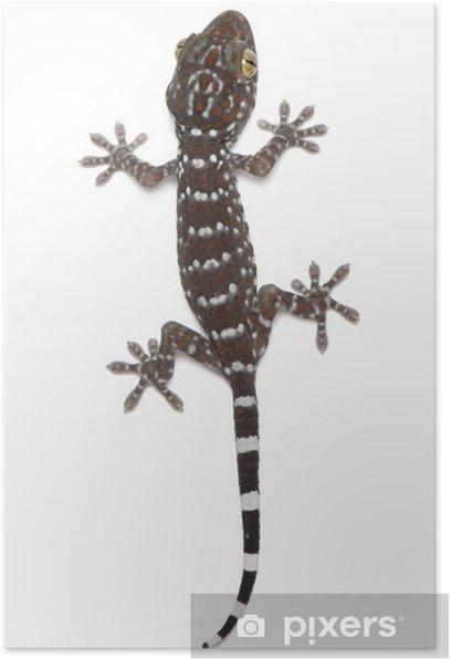 Plakát Gekon obrovský, Gekko gecko, proti bílému pozadí - Ostatní Ostatní