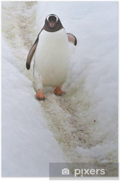 Plakat Gentoo Penguin, który idzie w dniu szlak wiosnę - Biegun Północny i Południowy