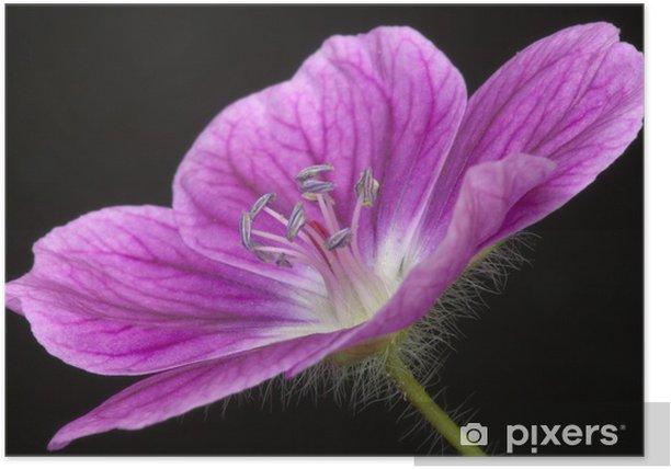 Plakát Geranium 'Elke' - Květiny
