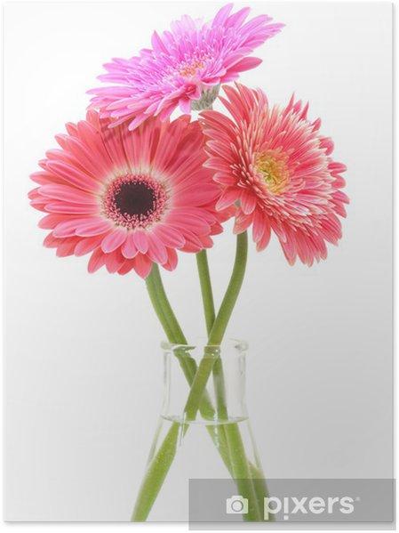 Plakat Gerbera bukiet kwiatów na białym tle. - Kwiaty