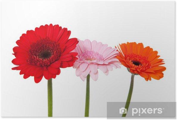 Plakát Gerbera - Květiny