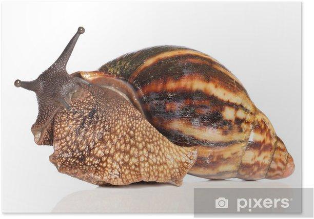 Plakat Giant African ślimak crawling - Zwierzęta żyjące pod wodą