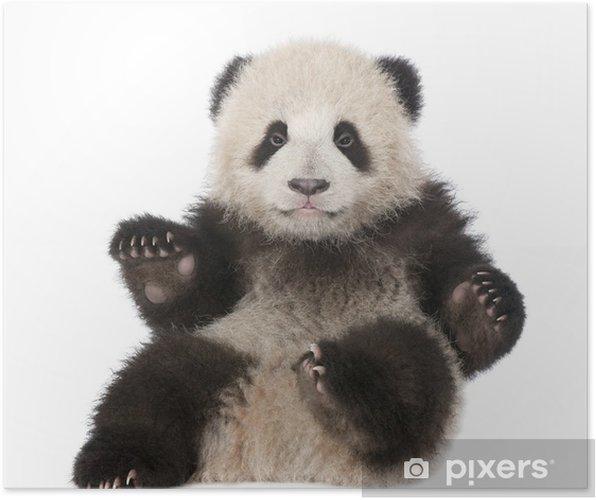 Plakat Giant Panda (6 miesięcy) - Ailuropoda melanoleuca - Naklejki na ścianę