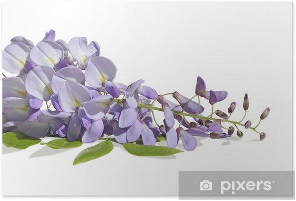 Plakat Glicyny fioletowe - Kwiaty