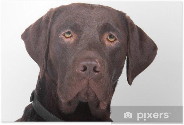 Plakat Głowa psa rasy mieszanej (labrador, Wyżeł niemiecki) - Naklejki na ścianę