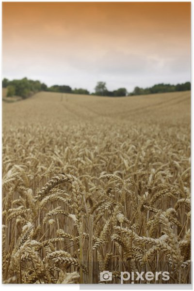 Plakát Golden Wheat - Rostliny