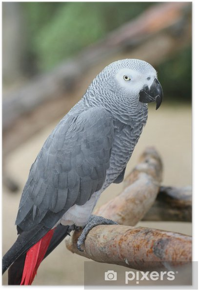 Plakat Grey Parrot 7 - Szczęście