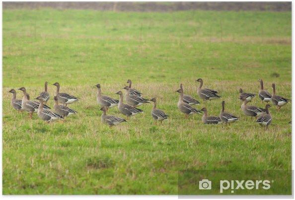 Plakat Greylag gęsi na łące - Ptaki