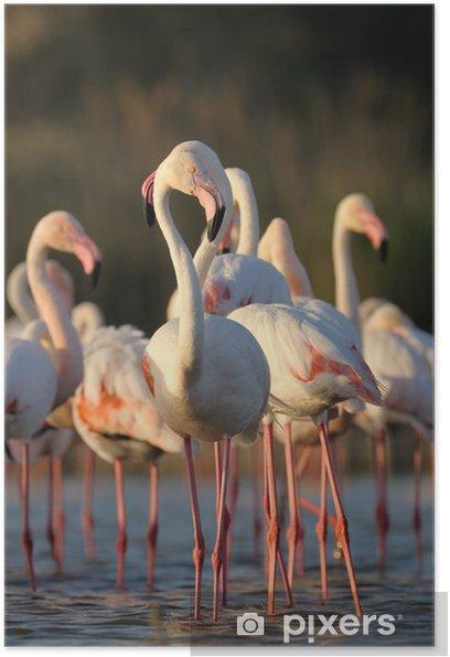 Plakat Grupa Flaming stoi w stawie. - Tematy