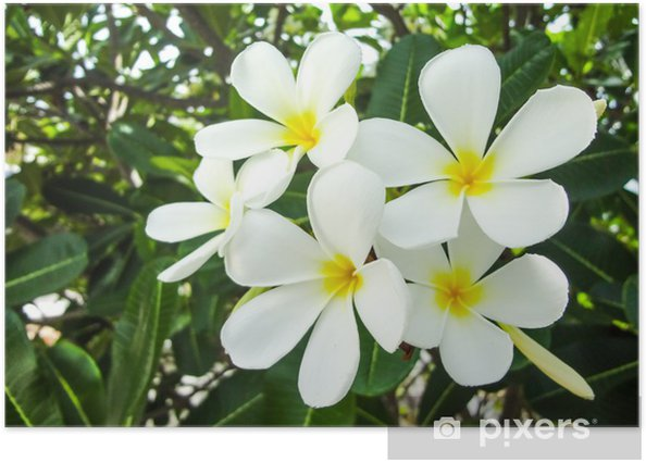 Plakat Grupa Plumeria Frangipani kwiat zbliżenie na zielony liść - Kwiaty
