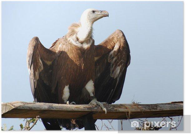 Plakat Gyps fulvus - Ptaki