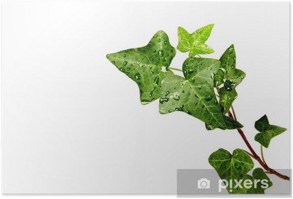 Plakat Herb ivy w krople rosy - Rośliny