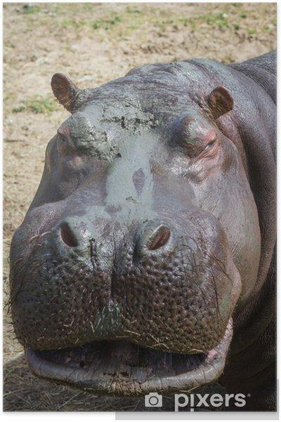 Plakat Hipopotama - Hippos - Ssaki