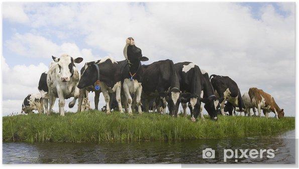 Plakat Holenderski krowy - Ssaki