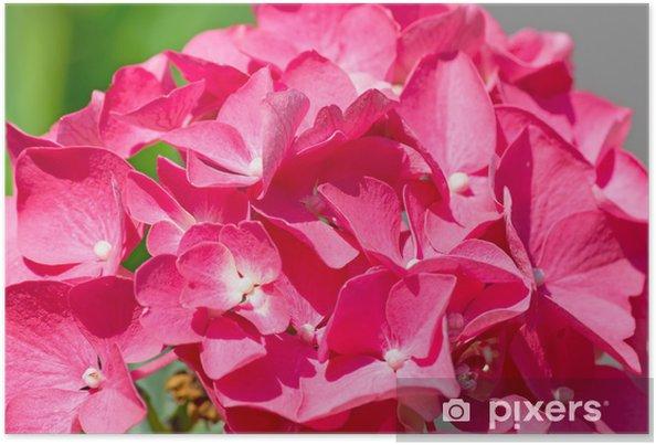 Plakat Hortensja różowy bliska - Kwiaty