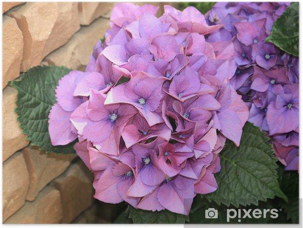 Plakat Hortensja różowy - Kwiaty